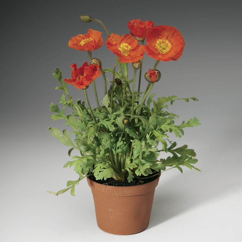 HR_Seed_Papaver_Spring_Fever®_Spring_Fever®_Orange_70004238.jpg