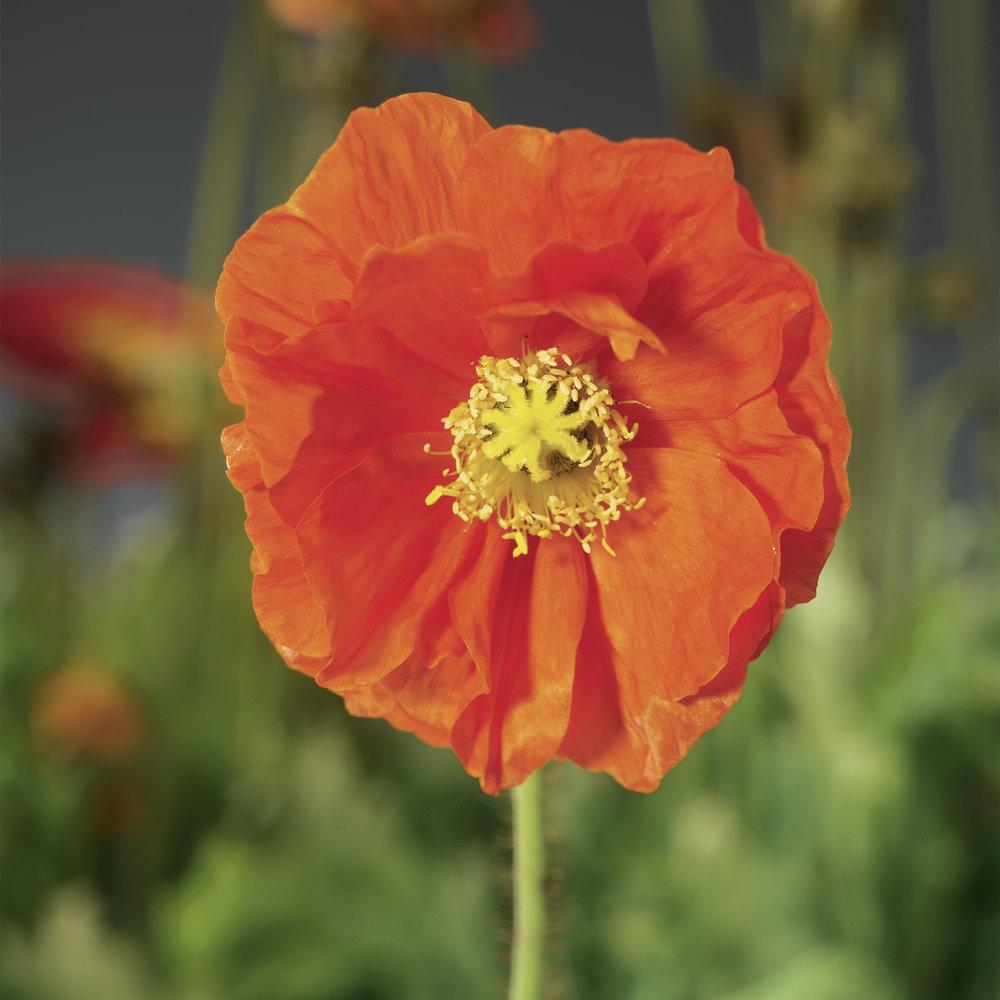 HR_Seed_Papaver_Spring_Fever®_Spring_Fever®_Orange_70004238_1.jpg