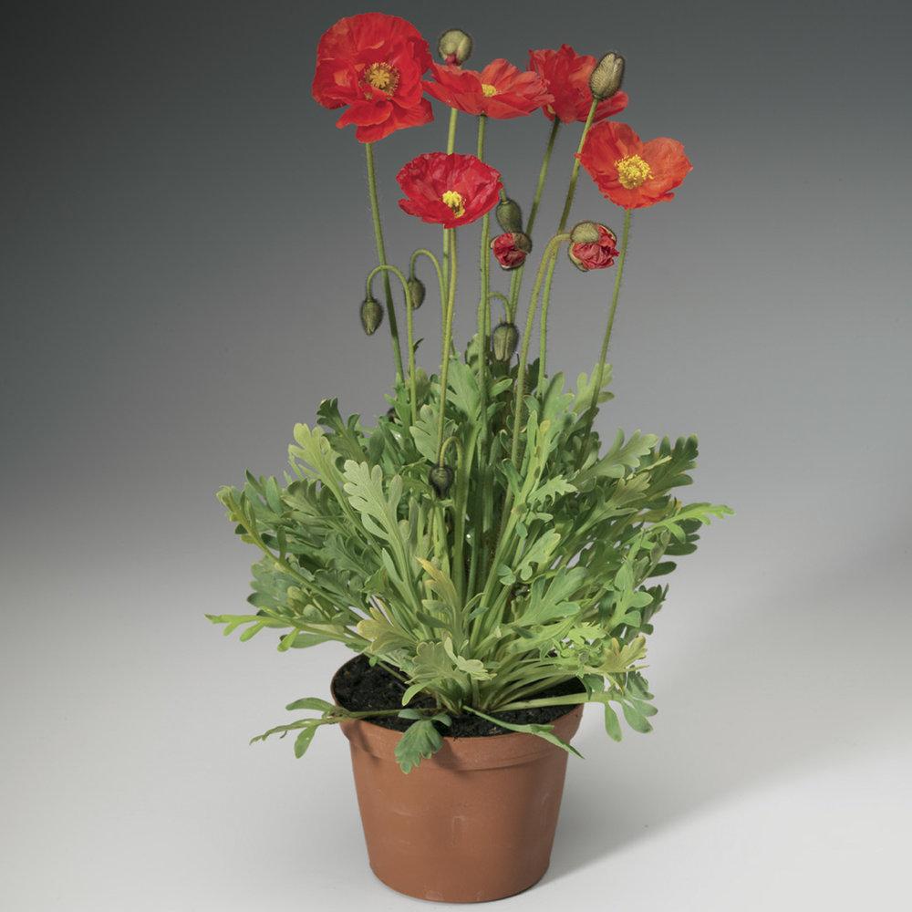 HR_Seed_Papaver_Spring_Fever®_Spring_Fever®_Red_70004239_1.jpg