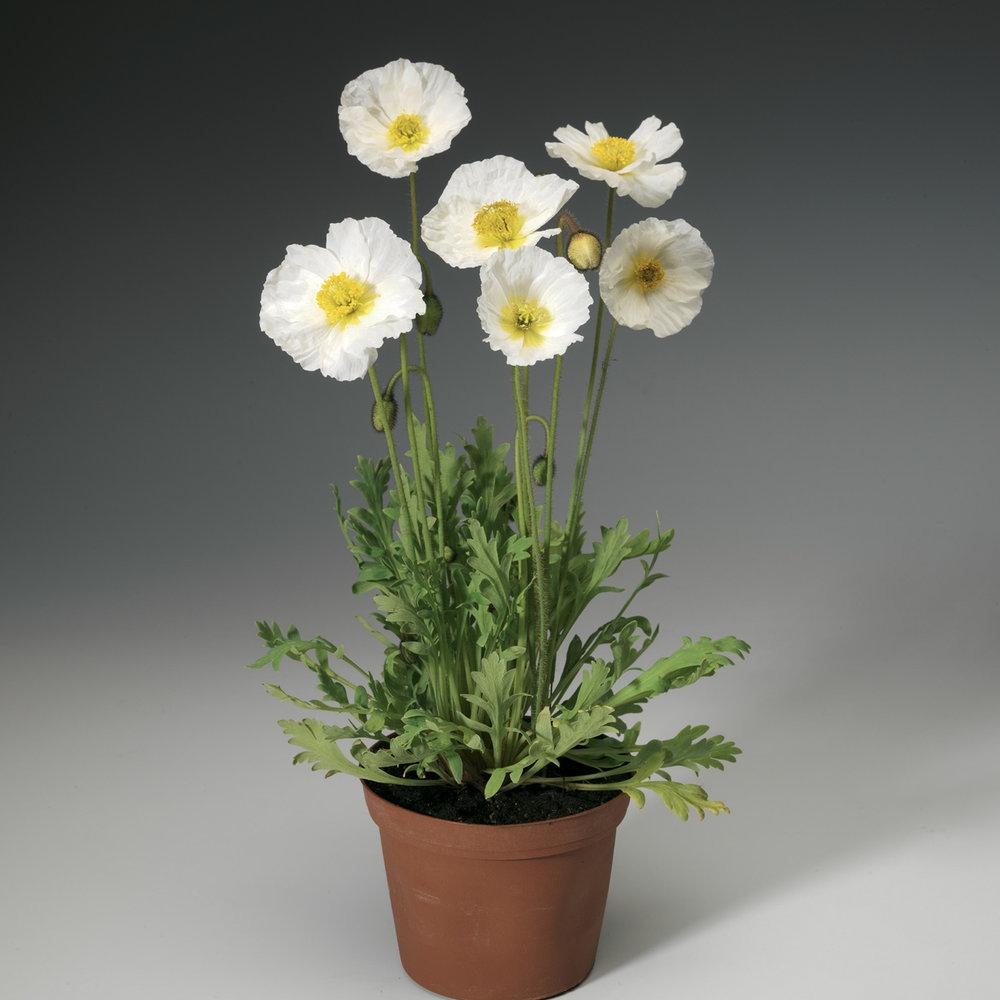 HR_Seed_Papaver_Spring_Fever®_Spring_Fever®_White_70004236.jpg