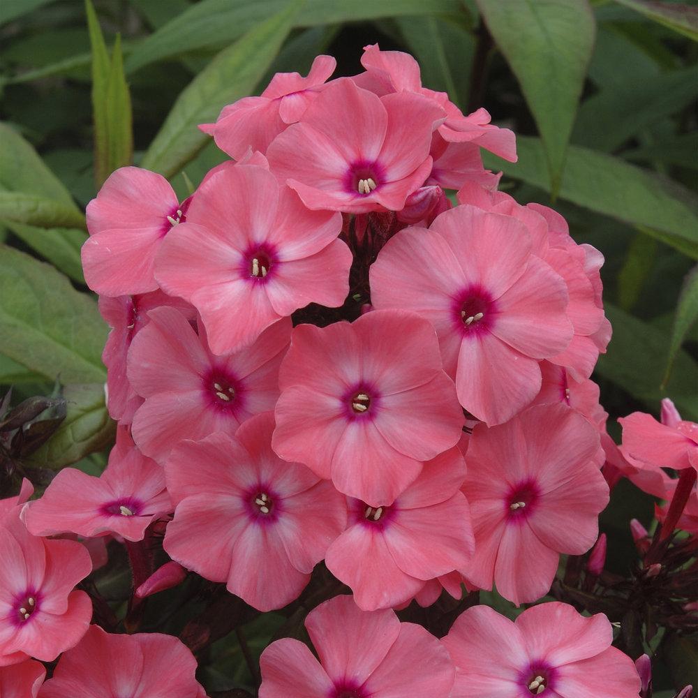 HR_Vegetative_Phlox_Sweet_Summer_Sweet_Summer_Dream__Orange_Rose_70028359_2.jpg