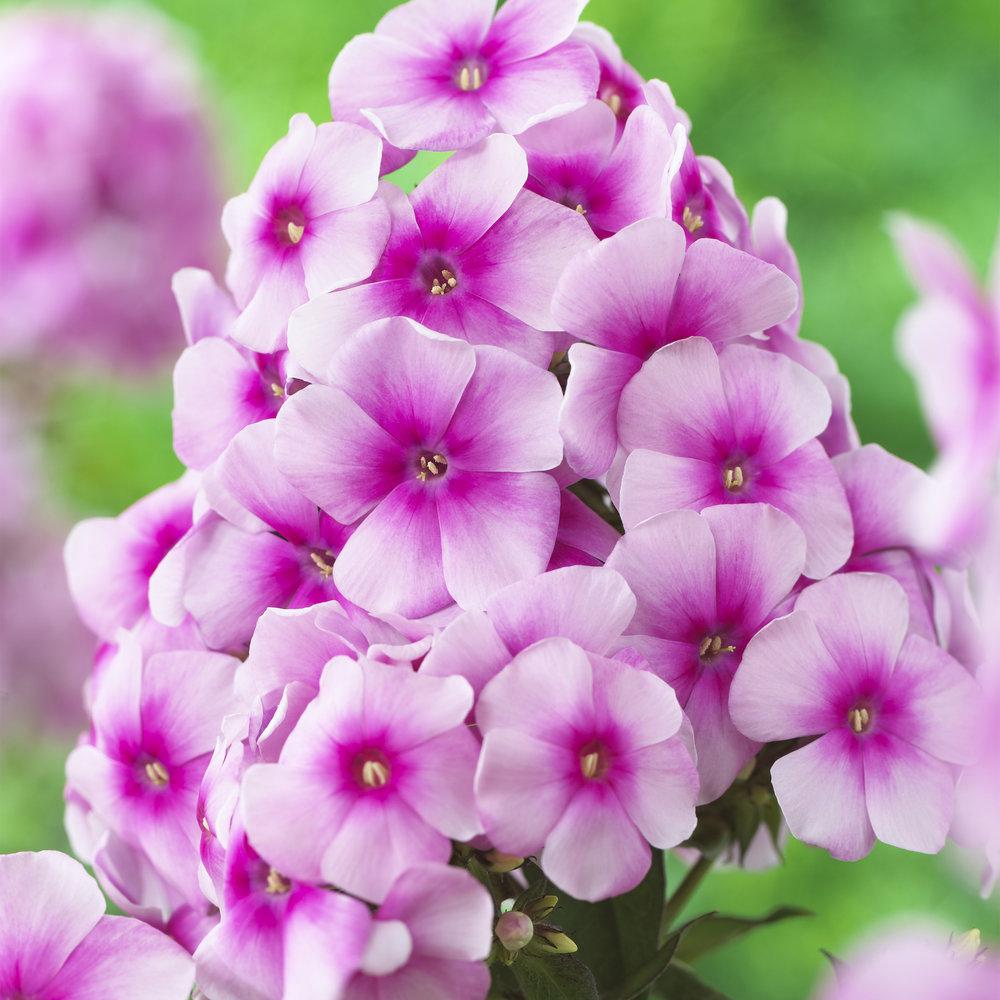 HR_Vegetative_Phlox_Sweet_Summer_Sweet_Summer_Festival__Compact_Rose_Dark_Eye_70028300_4.jpg