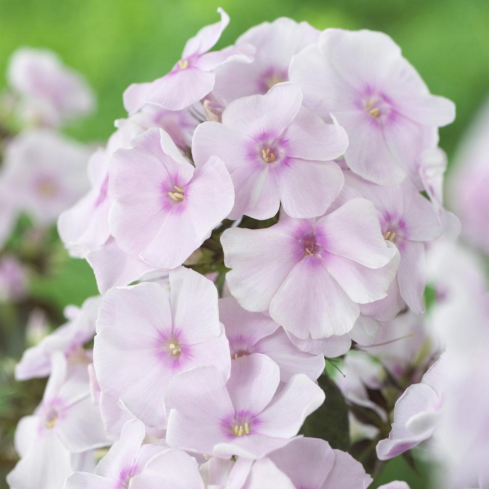 HR_Vegetative_Phlox_Sweet_Summer_Sweet_Summer_Sensation__Soft_Pink_70028357_2.jpg