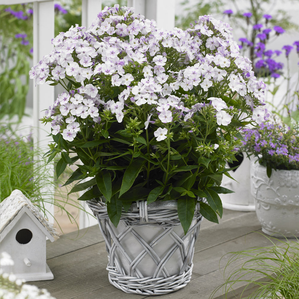 HR_Phlox_Tiny_Twinkle_White.jpg