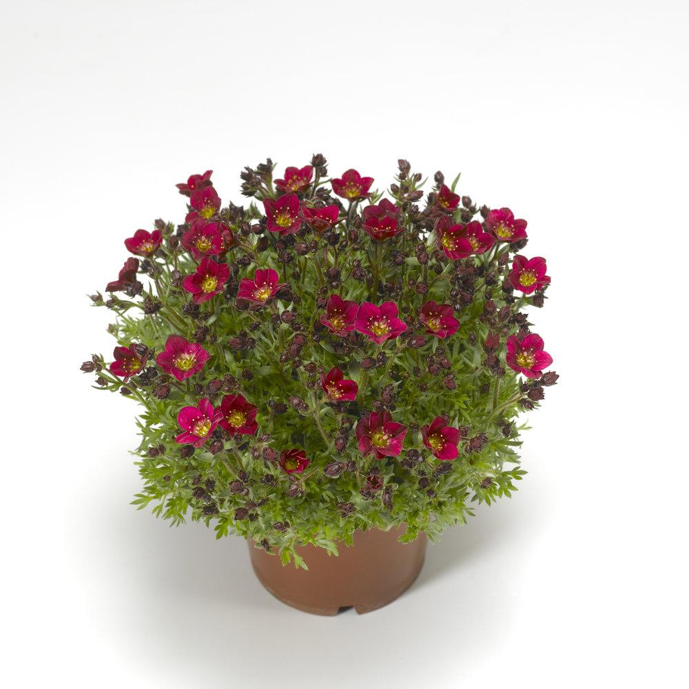 HR_Vegetative_Saxifraga_Touran™_Touran™_Deep_Red_Imp._70052228_1.jpg