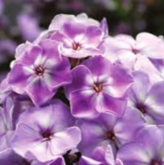 Lilac Wink Compact Lilac White Eye