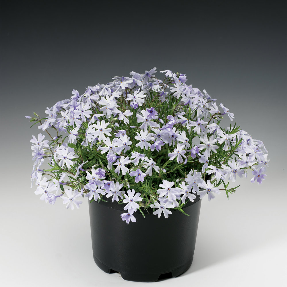 HR_Vegetative_Phlox_Emerald_Cushion_Emerald_Cushion_Blue_70004206_1.jpg