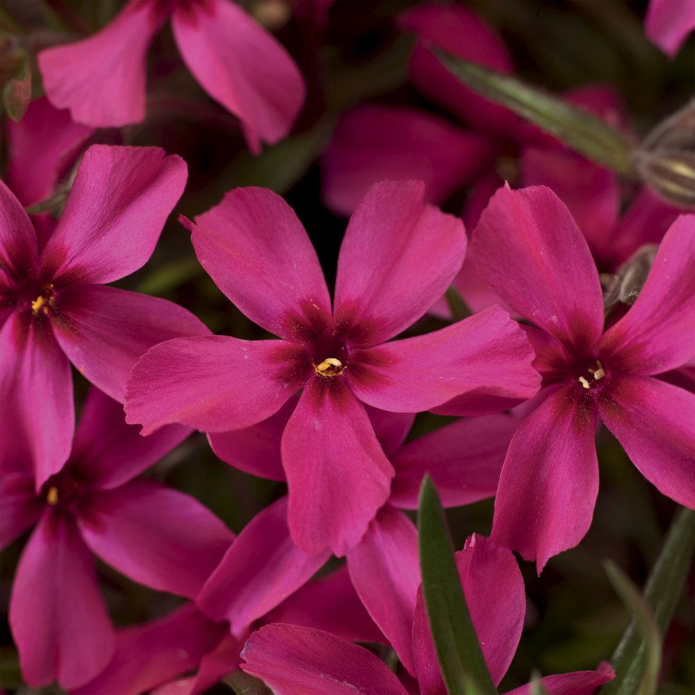 HR_Vegetative_Phlox_Scarlet_Flame_Scarlet_Flame_70006324.jpg