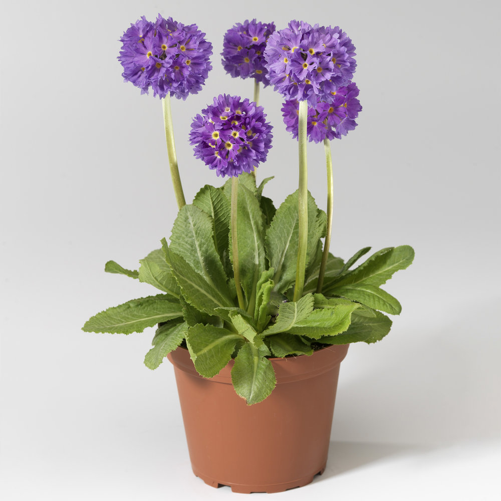 HR_Seed_Primula_Corolla__Corolla__Blue_70001241.jpg