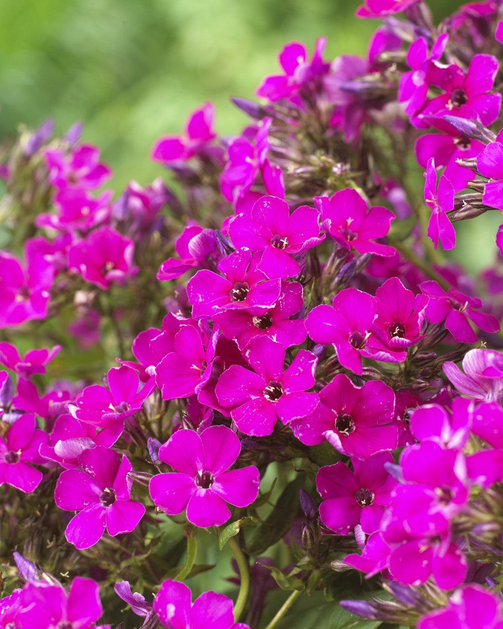 Phlox_Twnkle Purple.jpg