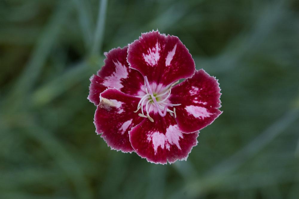 Dianthus Angel of Charm (1).jpg.jpg