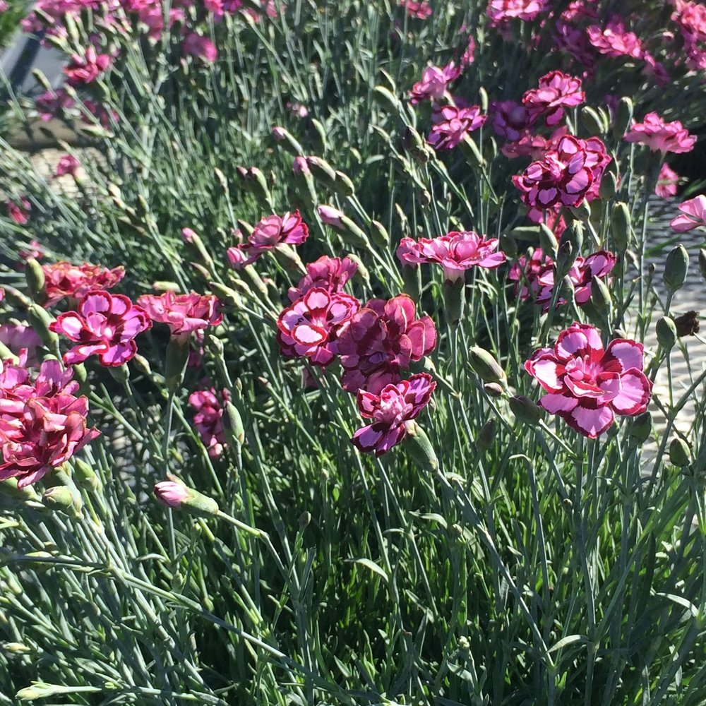 Dianthus Angel of Joy (3).jpg