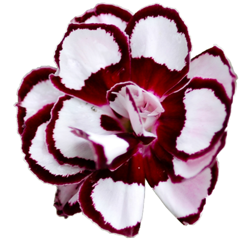 Dianthus Angel of Joy Clear Cut.png