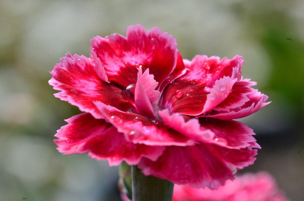 Dianthus Angel of Harmony (3).JPG