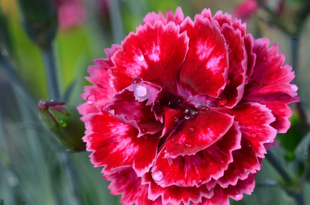 Dianthus Angel of Harmony (2).JPG