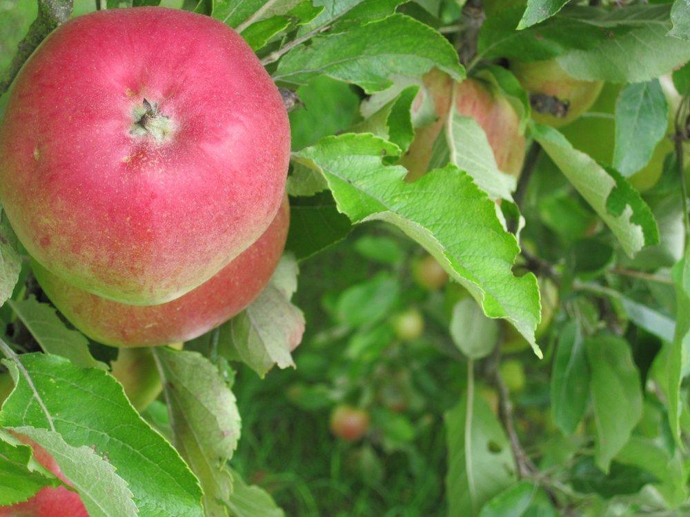 Season Apple.jpg