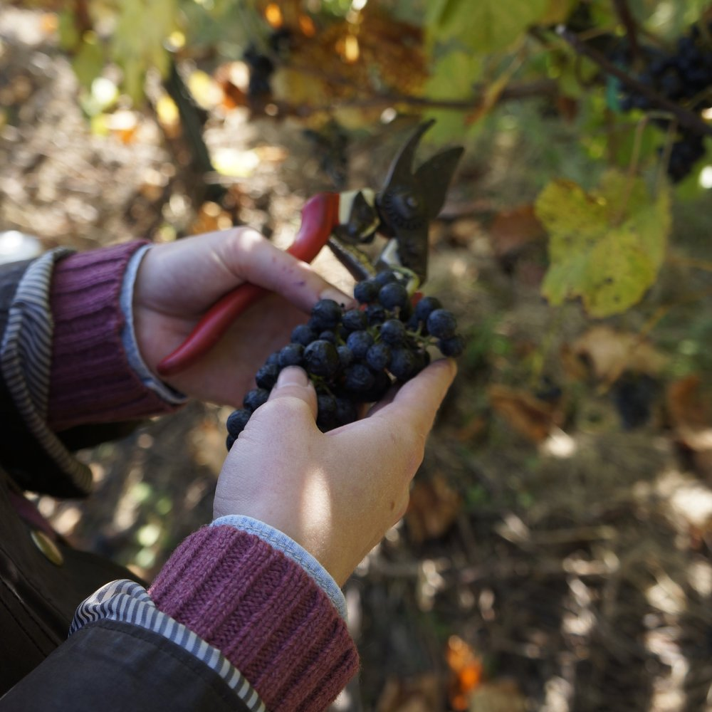 Two hands are holding a bunch of grapes and a pair of pruning sheers in the vineyard.