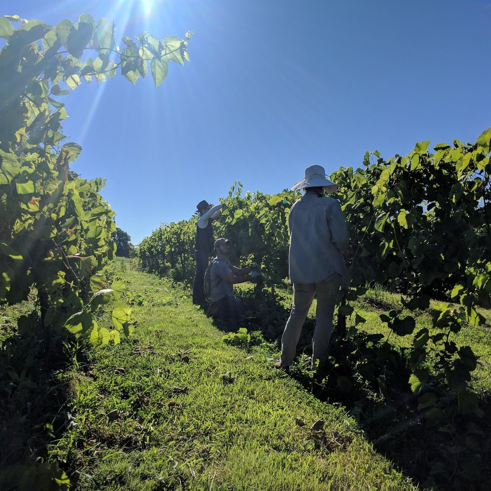 Three people standing in a vineyard working on canopy thinning.