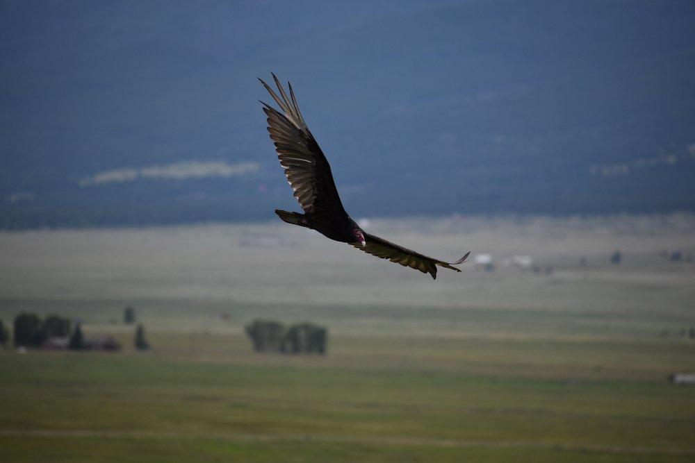 westcliffe-eagle.jpg
