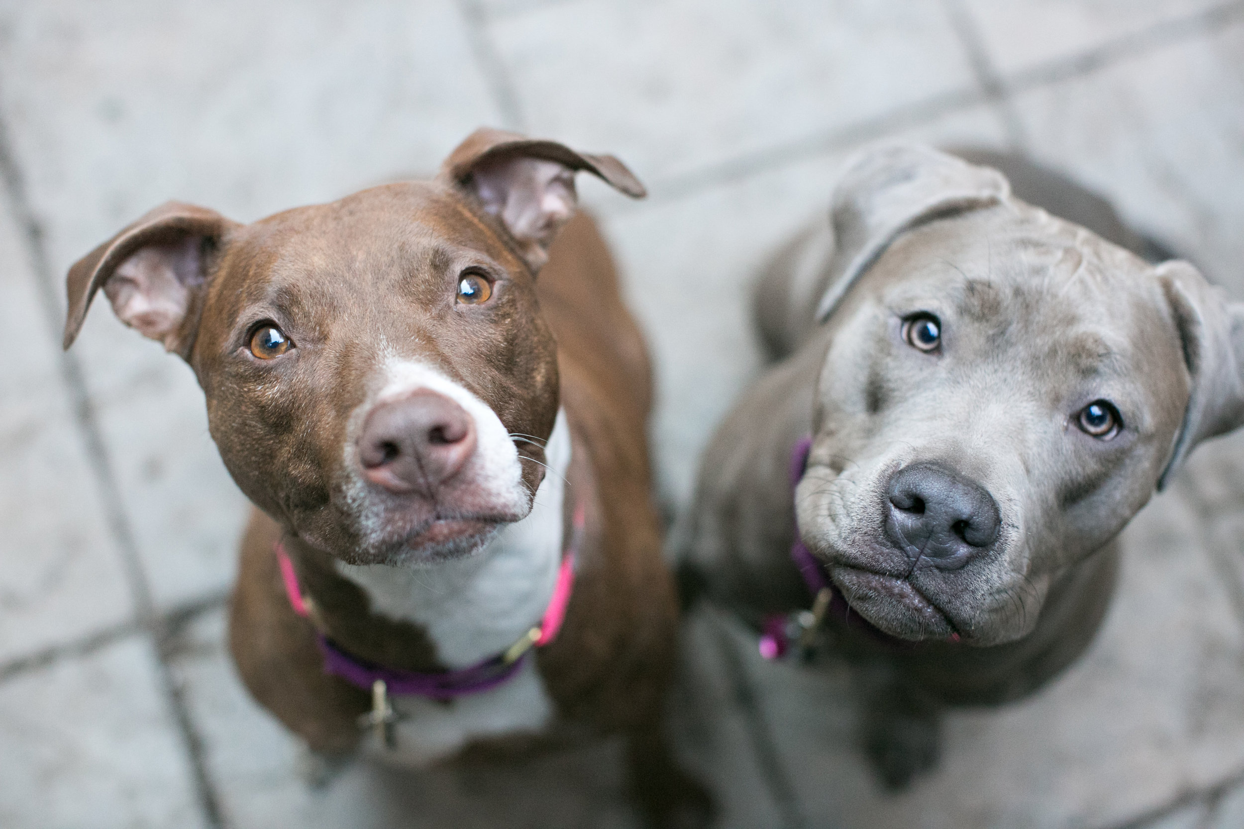 All Animal Porn pit bull people part 2: pit bulls are like porn — hello pigpen