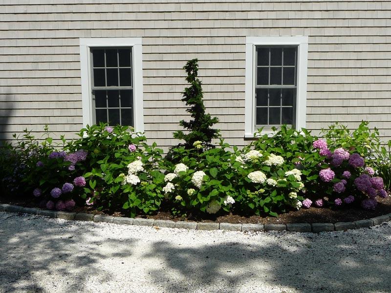 Hinoki-_-Hydrangea-Foundation-Planting---Centerville,-MA.jpg