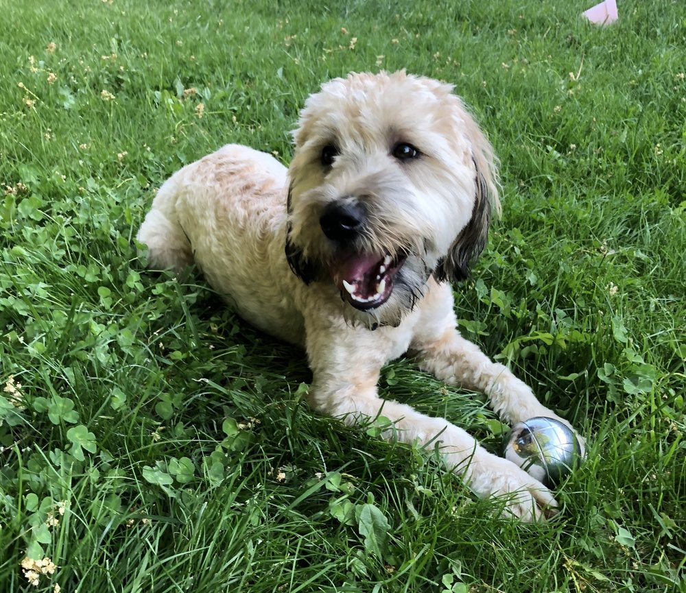 Wicket SatoCanine Relations - Wickett joined the team in Houghton in summer of 2017. She enjoys chewing, preventing Matt and Kelli from sleeping, and getting aquainted with her co-workers.