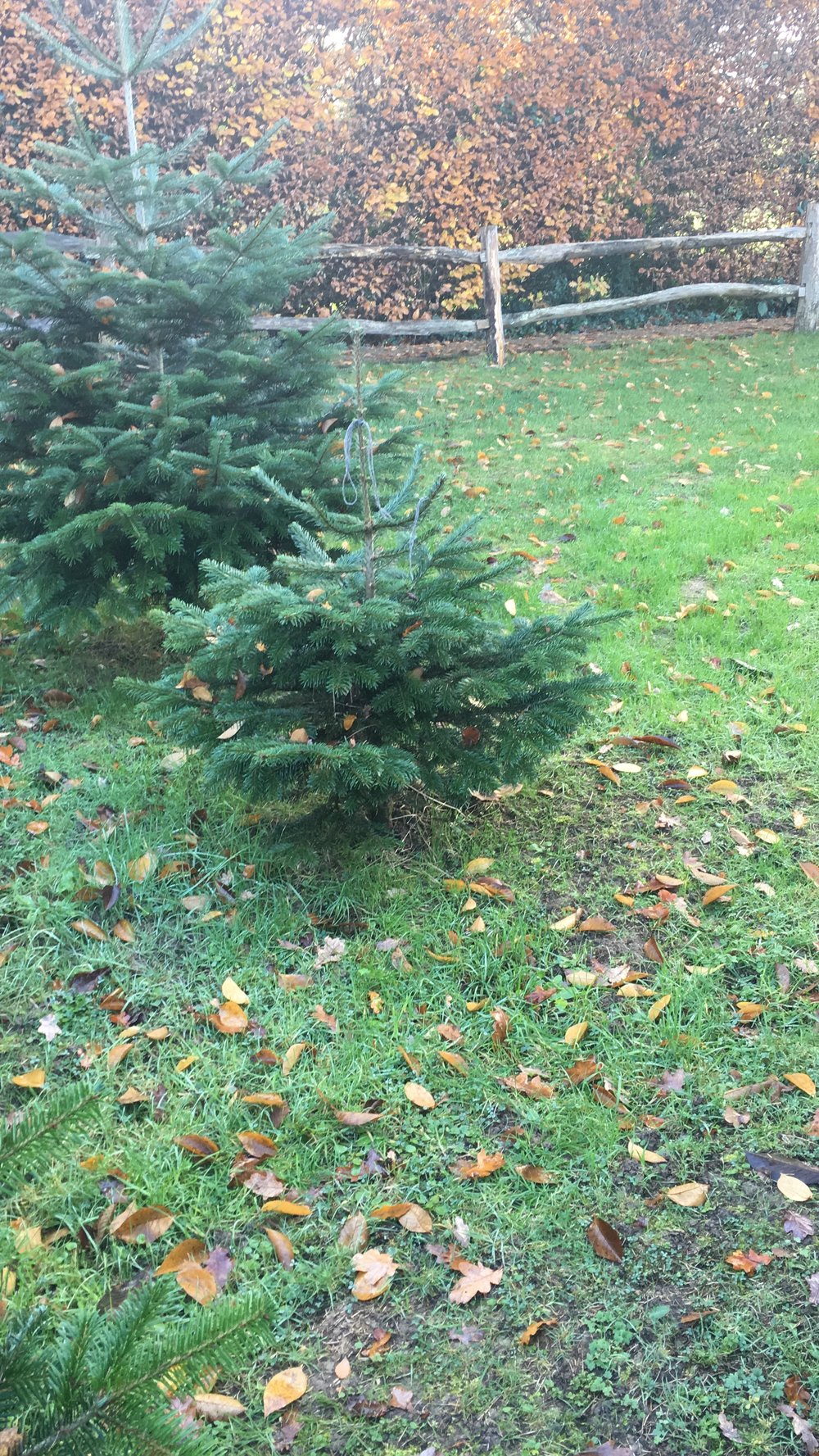 My Christmas trees before they are dug up