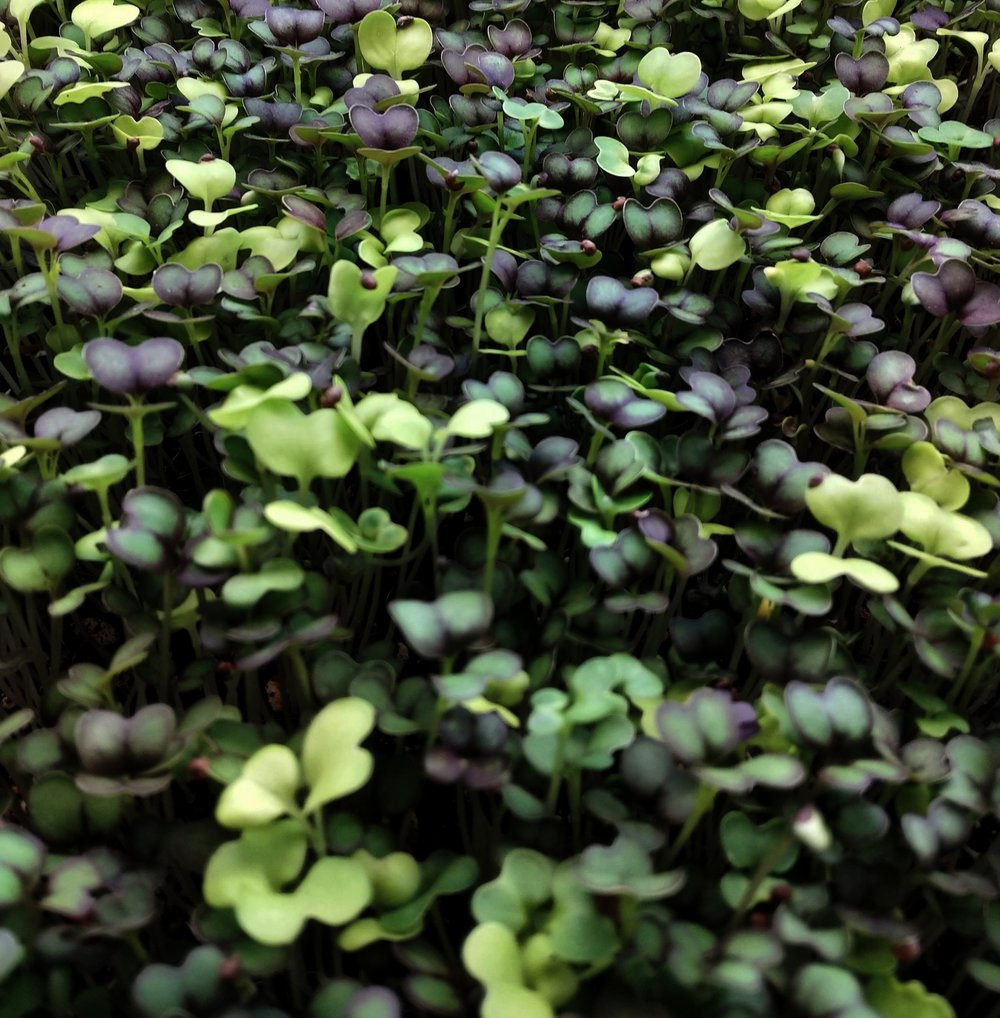 Microgreens - Young vegetables harvested 2 to 3 weeks after germination, microgreens have unique flavors, bright colors, and are packed full of nutrients.  We developed the Elemental Greens standard of growing microgreens to ensure that these tender plants are not exposed to things you wouldn't want in your body.  We use a proprietary coconut coir blend, high quality seeds and triple-filtered water to ensure the highest quality microgreens for you and your most sensitive eaters.