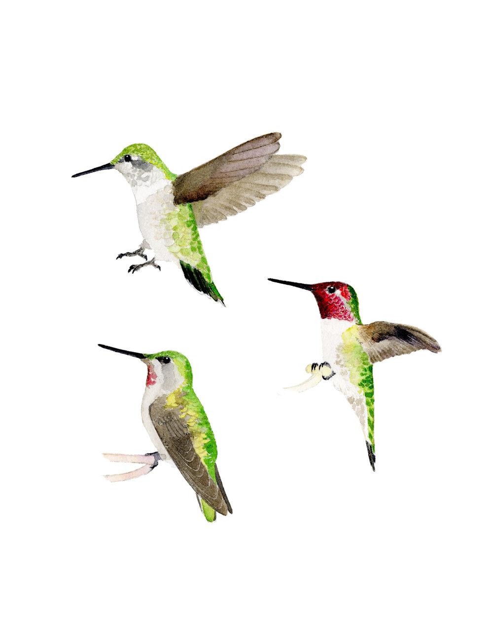 annas hummingbirds 2018.jpg