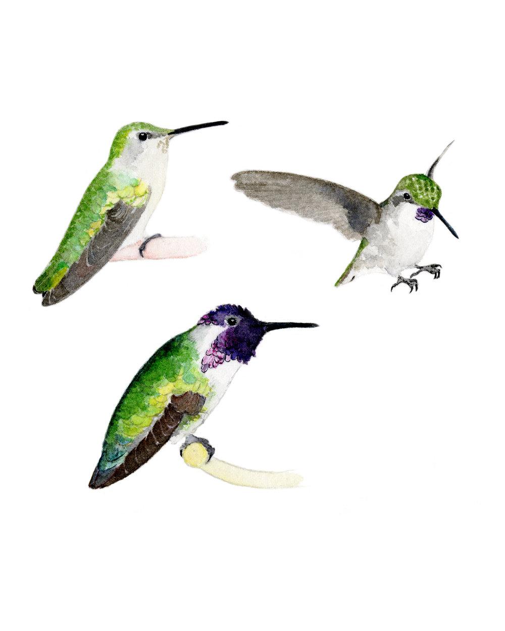costas hummingbirds 2018.jpg