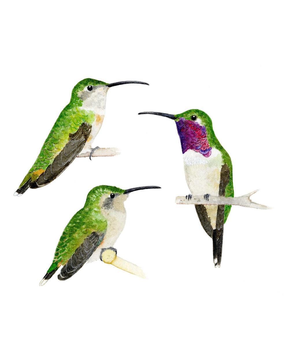 lucifer hummingbirds 2018.jpg