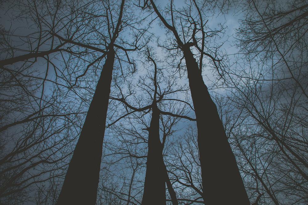 Trees at Nightfall Babcock Preserve.jpg