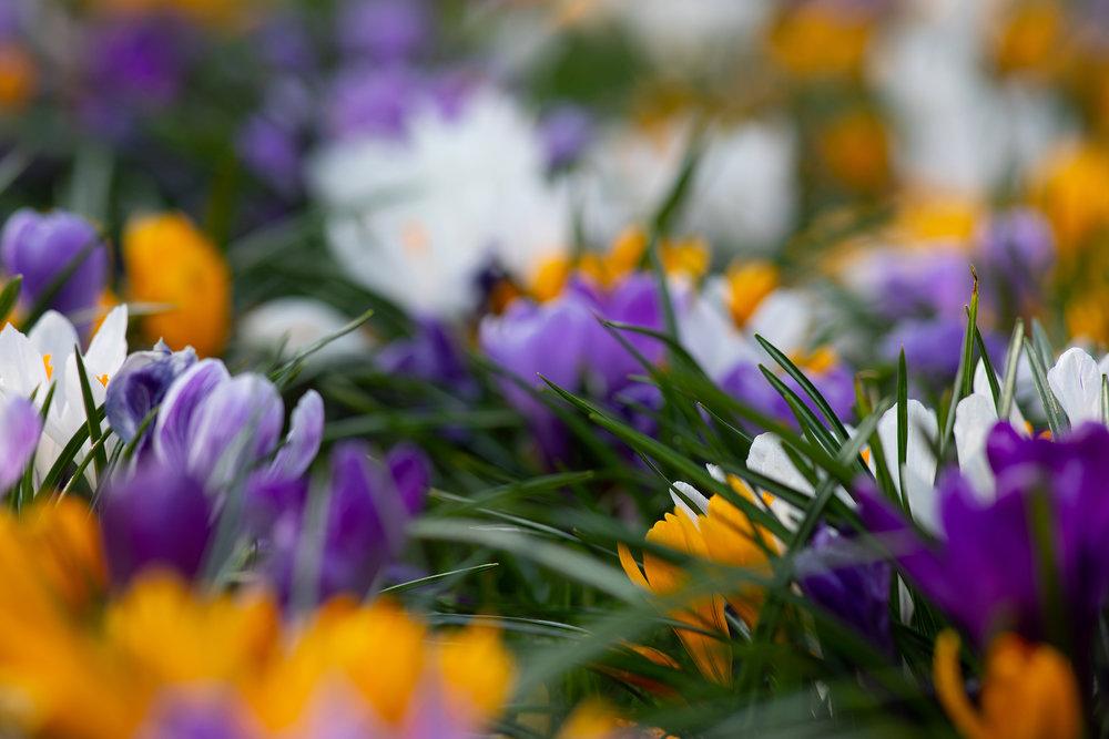 Crocus Flowers.jpg
