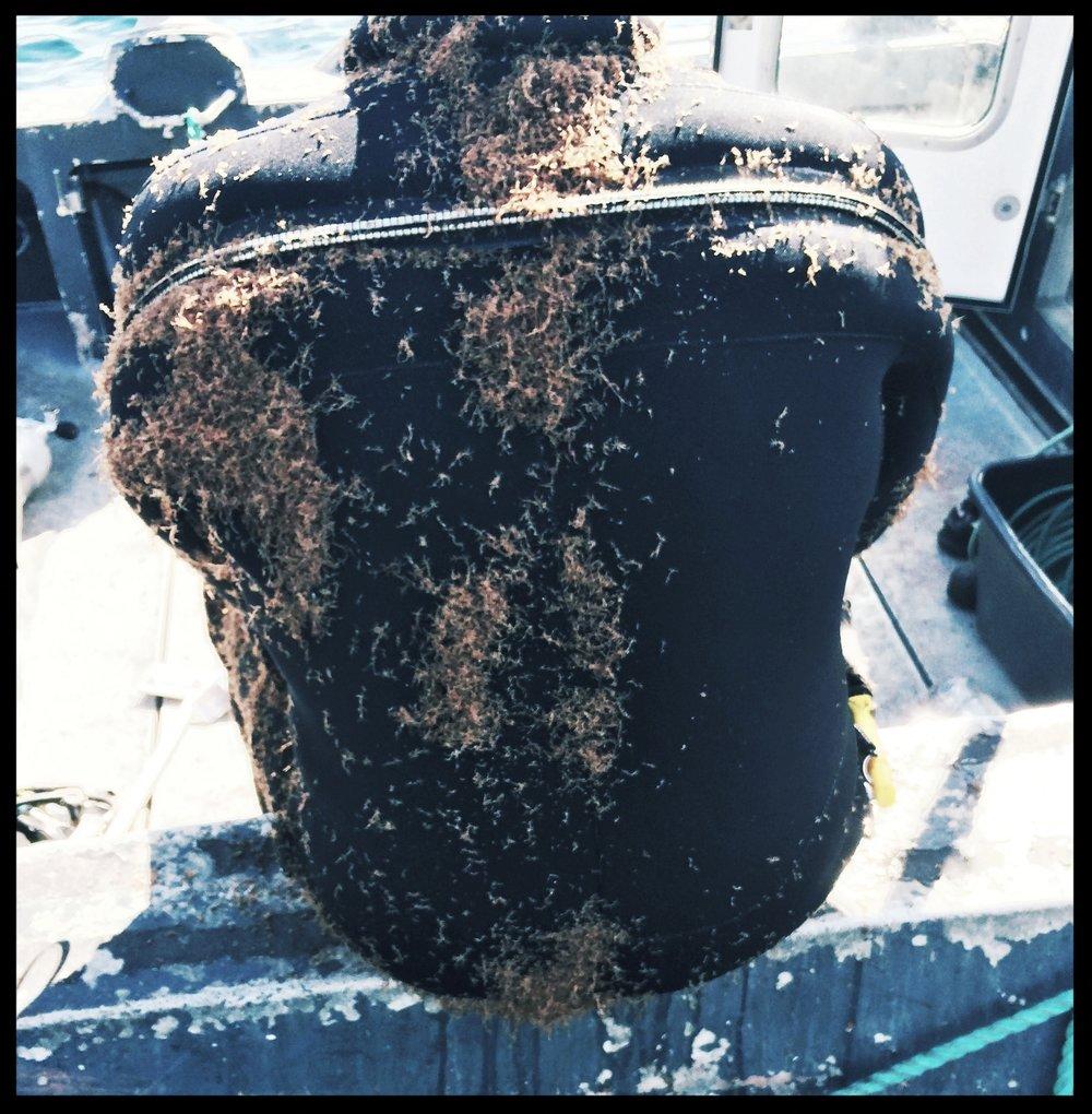 Dykker dekket med begroings-rester etter notring vask.