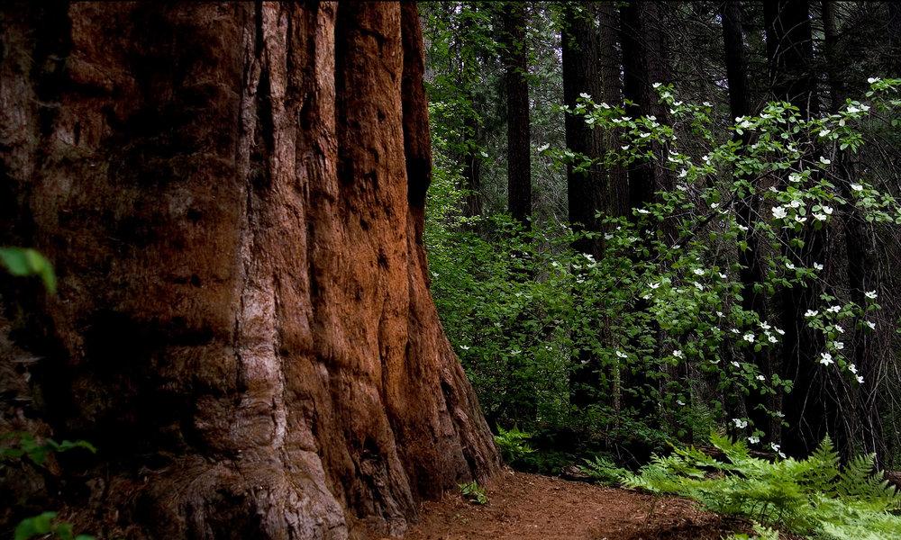 bg_redwoods.jpg