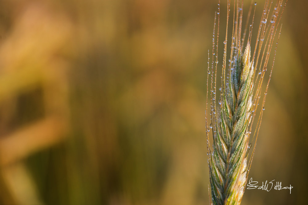 WEB_WHEAT_DSC_0381.jpg