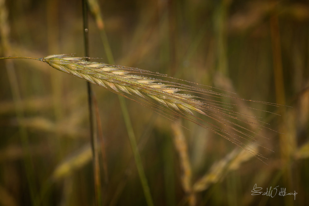 WEB_WHEAT_DSC_0390.jpg