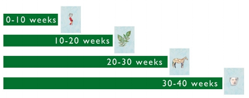 40 week timeline; from blueprint, to vegetal being, instinctual and human