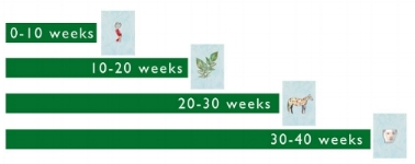 4, 10-week periods in gestational development