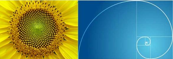 Fibonacci spiral; the golden ratio as seen in nature