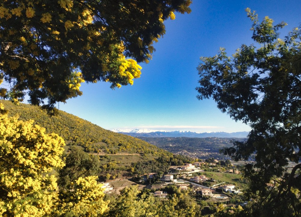 The Mimosa in L'Estérel - West of Cannes. The Alpes in the distance
