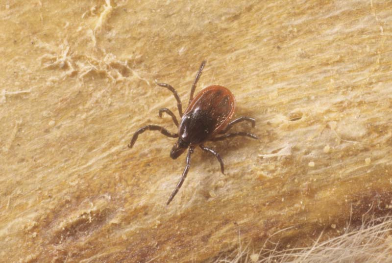 Blacklegged (deer) tick adult