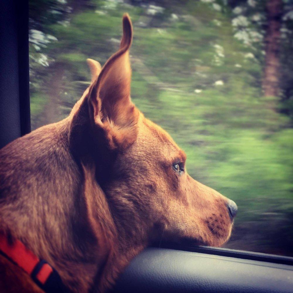 Pyometra dogs
