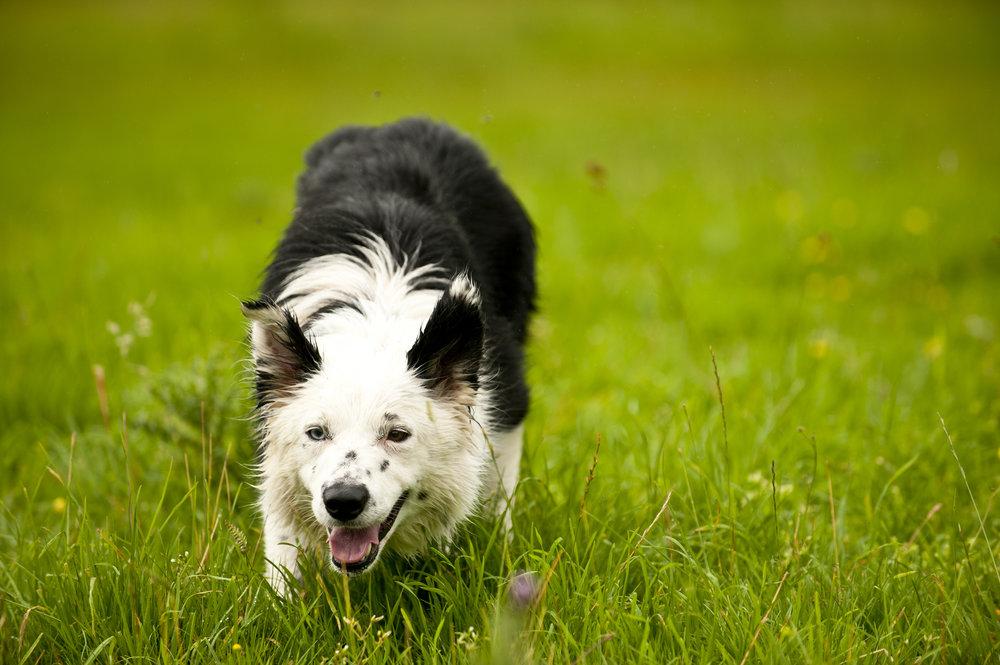 canine hypothyroidism