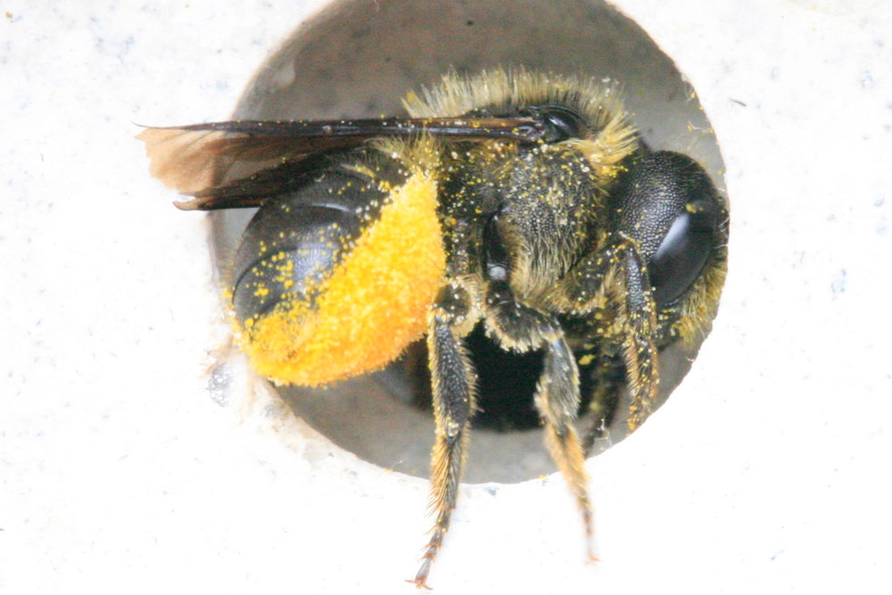 red-mason-bee-covered-in-pollen.jpg