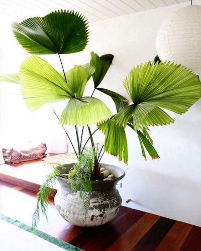 Indoor plant palm.jpg