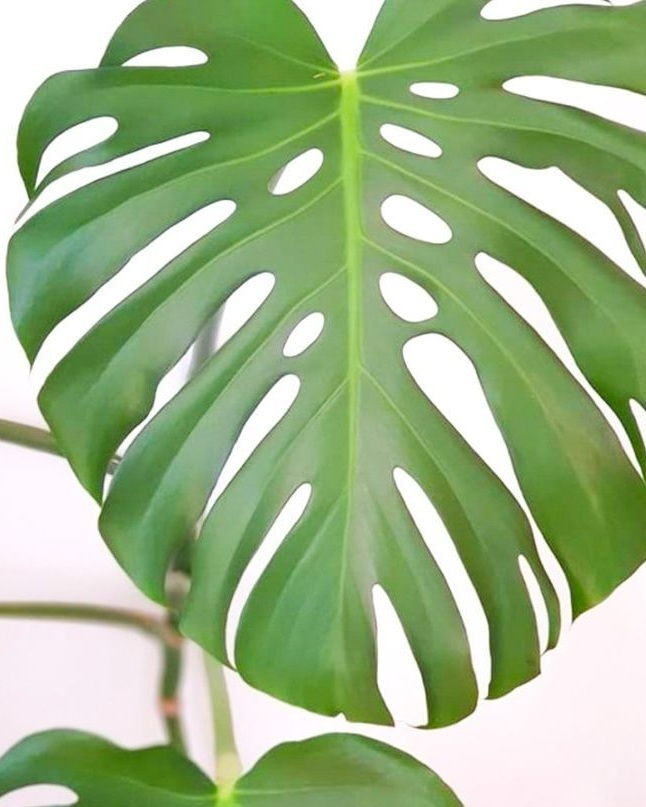The unmistakable foliage of the Monstera plant. Image from Pinterest via Plantsdonewine
