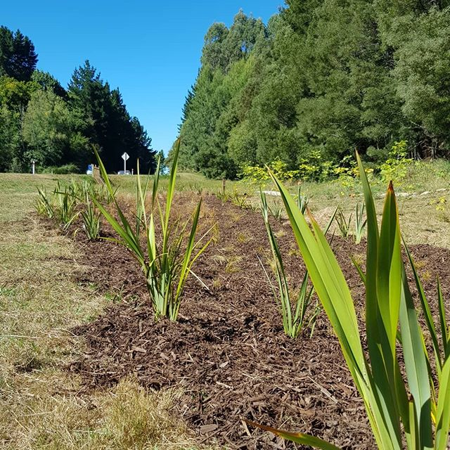 Another great site along Wairakei drive getting the Greening Taupo Wicked Weeder treatment this beautiful morning #greeningtaupo #plantingtrees #wickedweeders #wairakeidrive #taupo