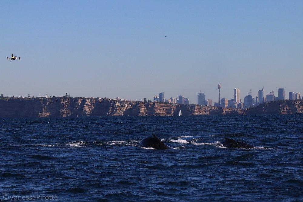 Whale snot research, Sydney, Australia.