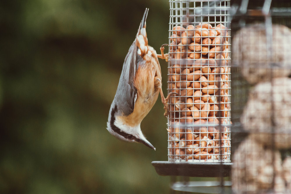 Anya Raczka Oak & Claw Photography - Nuthatch on Feeder.jpg